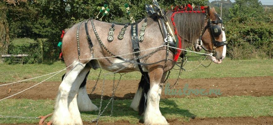 Шайрская лошадь – нежный тяжеловоз