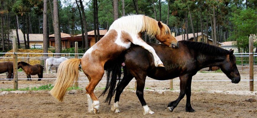 Вязка или случка лошадей