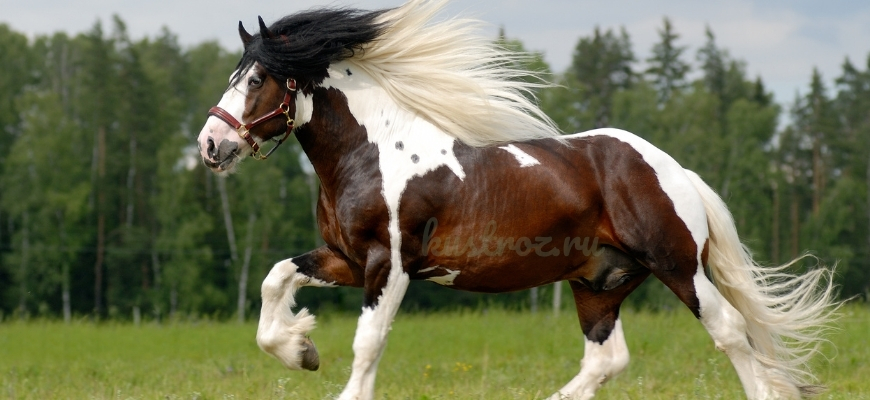 Лошадь Тинкер