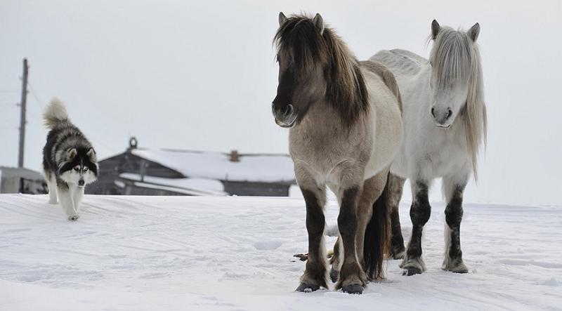 Колымский тип якутской лошади
