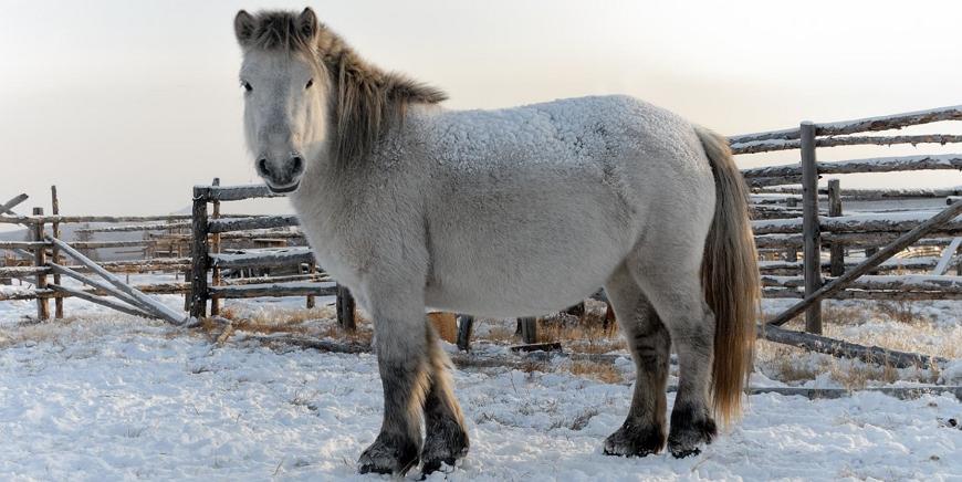 Янская лошадь