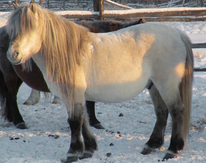Приленская якутская