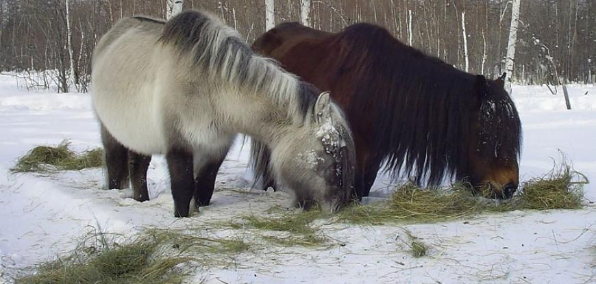 Якутская лошадь – невероятно выносливая порода