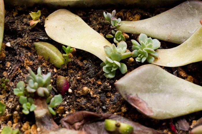 Эхеверия: описание, уход и размножение в домашних условиях