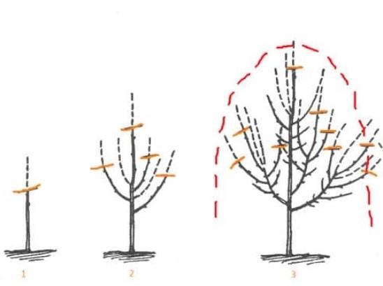 Черешня сорта Фатеж – гордость и украшение сада