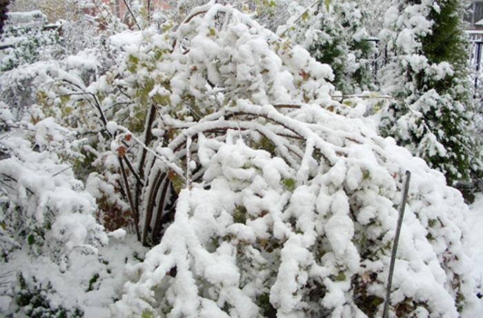 Удивительный снежный шар — калина бульденеж