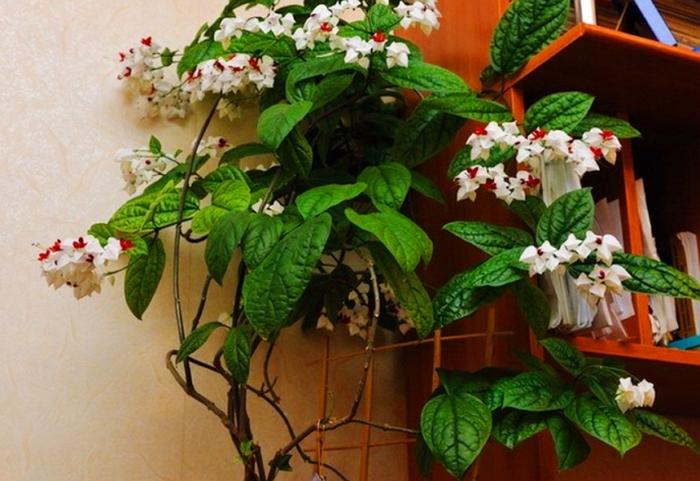 Клеродендрум – всё о выращивании и размножении удивительного цветка