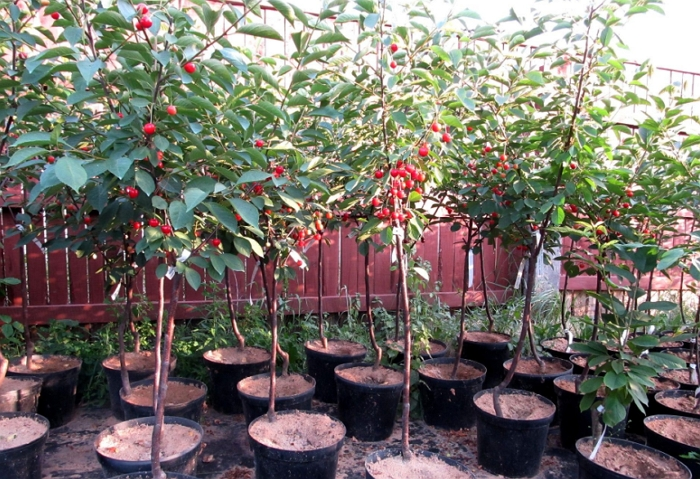 Черешня: выращивание в саду птичьей вишни