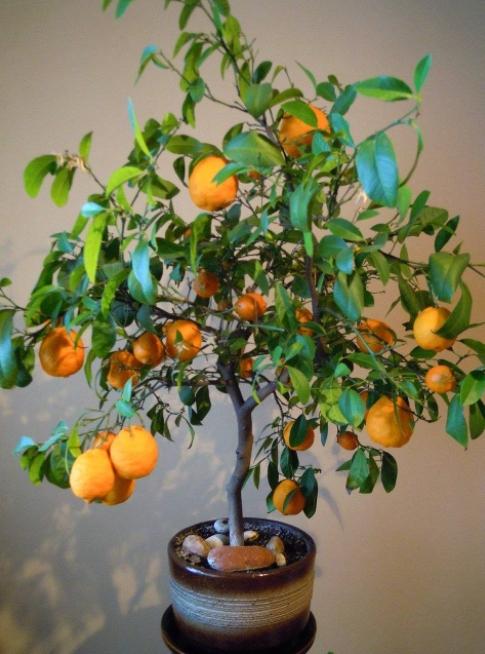 Минеола фрукт: что это такое и как его содержать в домашних условиях