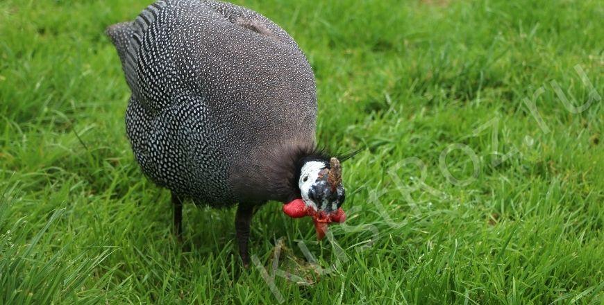 Цесарка – царская птица на подворье!